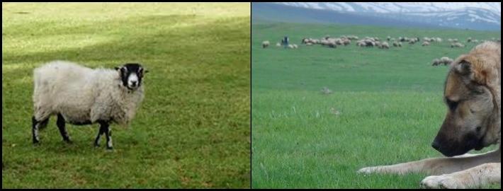 Kur'an'da '99 Koyun'a 1 Koyun' kıssası ne anlatır?